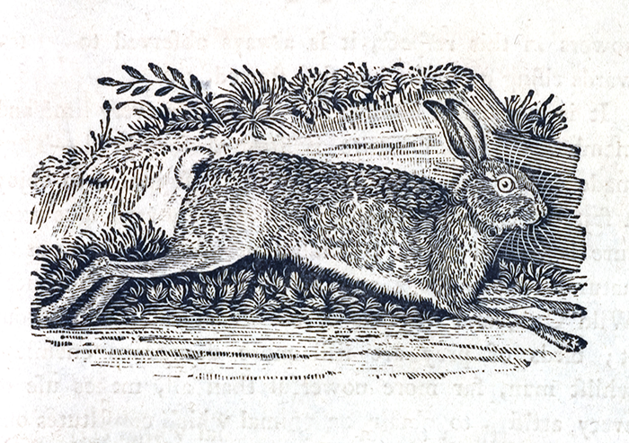 Illustration of a rabbit by Thomas Bewick